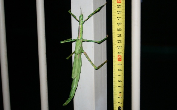 stickinsect